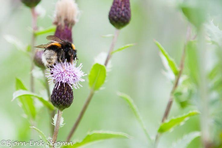 Bumblebee by Bjørn-Erik Skjøren