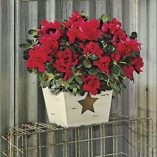 Holiday Star Azalea Gift