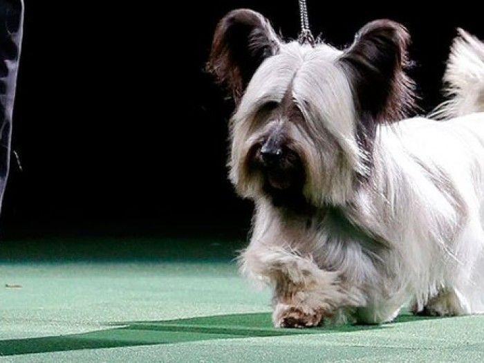 Meet Charlie the Skye Terrier, winner of the National Dog Show!