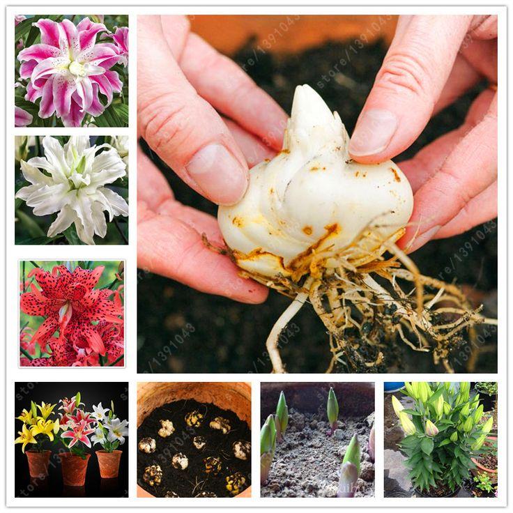 100% wahre lilie bulbs blumenzwiebeln (nicht liliensamen) schwachen geruch, bonsai topf lilium pflanzen doppel blütenblätter hausgarten-anlagen 2 lampen
