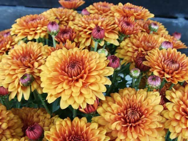 Growing mums as perennials: Cut back mums to the ground level after the frost-kill, then mulch with evergreen branches for cover during the winter.