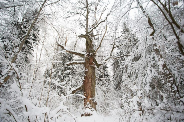 Winter tree in Belovezhskaya Pushcha   Belarus   Eastbook.eu