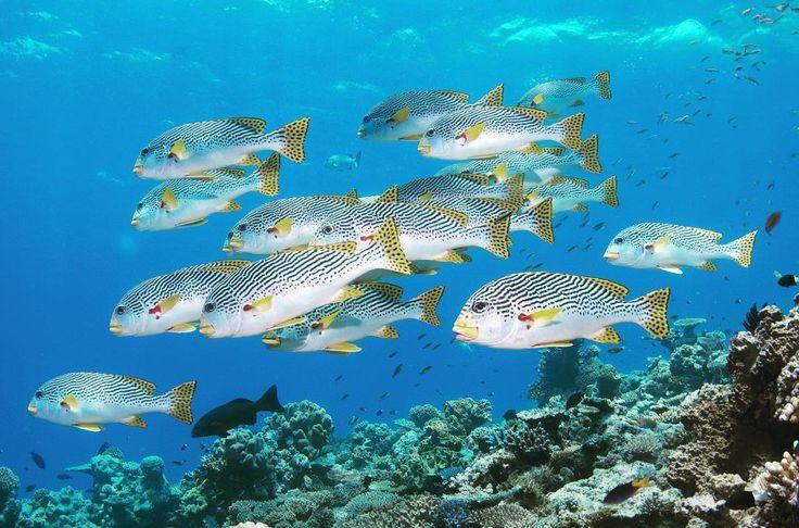 平日おわったーお疲れみなさまお疲れ自分w#オーストラリア#ケアンズ#クイーンズランド州#グレートバリアリーフ#珊瑚#海#青#アウターリーフ#シュノーケリング#スキンダイビング#ダイビング#イソギンチャク#アヤコショウダイ#australia#cairns#queensland#greatbarrierreef#ocean#sea#blue#underthesea#coral#outerreef#snorkeling#skindiving#diving#yellowbandedsweetlips by underthesea_24 http://ift.tt/1UokkV2