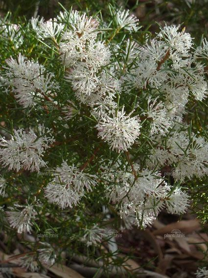 Hakea lissocarpha is a member of the Proteaceae family and is known as the Honeybush. Hakea lissocarpha is a native of Western Australia and is found in the south-west corner of the state
