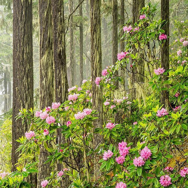 Photo @materas // Wild Pacific rhododendrons blooming in late spring in the Olympic National Forest. Wild rhododendrons grow prolifically in the mid and low elevation forests of the eastern Olympic Peninsula and are the state flower of Washington. Follow me @materas for more images like this from Washington and around the world. #wildflowers #wildrhododendrons #forest
