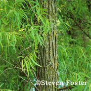 wonderful info on using willow medicinally, including drug interactions and dosage.