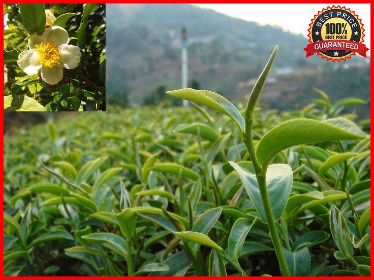 50+ Fresh Green Tea Plant Seeds - Camellia Sinensis - Original Green Tea #GreenTeaPlant