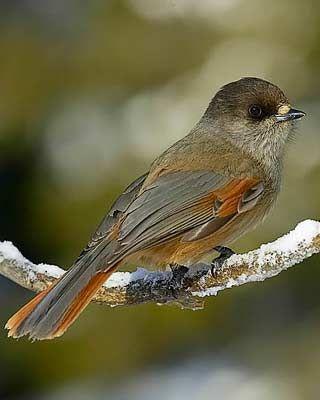 Kuukkeli, Perisoreus infaustus - Linnut - LuontoPortti