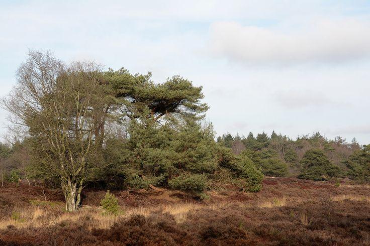 Snoek2009 posted a photo:  de Bakkeveensterduinen in It Mandefjild.  It Mandefjild wordt het genoemd, dit bij tal van wandelaars geliefde uitgestrekte natuurgebied bij Bakkeveen. Het ligt op de grens van Fryslân en Drenthe en is rijk aan variatie. Er is een stuifzandgebied, de Bakkefeansterdunen, er is het bos van Ald Bakkefean, er ligt een uitgestrekt heideterrein, de Heide fan Allardseach, er is een grote poel, de Harmsdobbe, en de oude verdedigingswal, de Landweer, markeert de grens met…