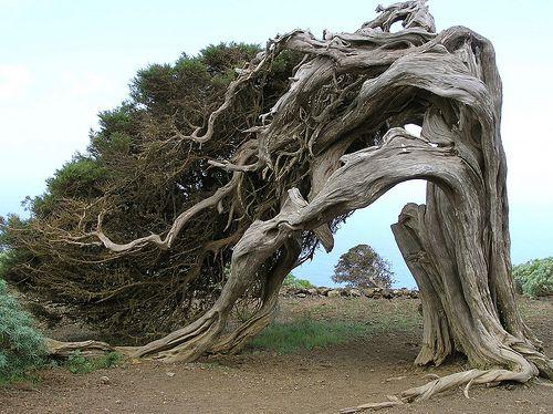 El Hierro;  El Sabinar; Juniperus phoenicea; Jeneverbes; Juniper Tree by jwsteffelaar, via Flickr