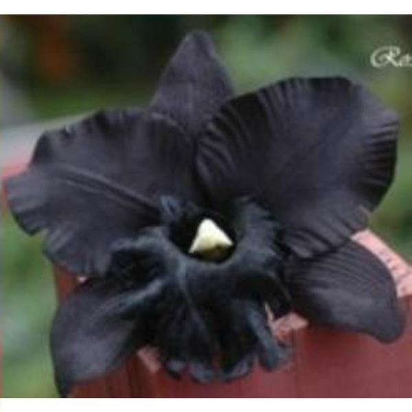 Zwarte Orchidee #zijde #zijdebloemen pompoezaden-decoshop.nl