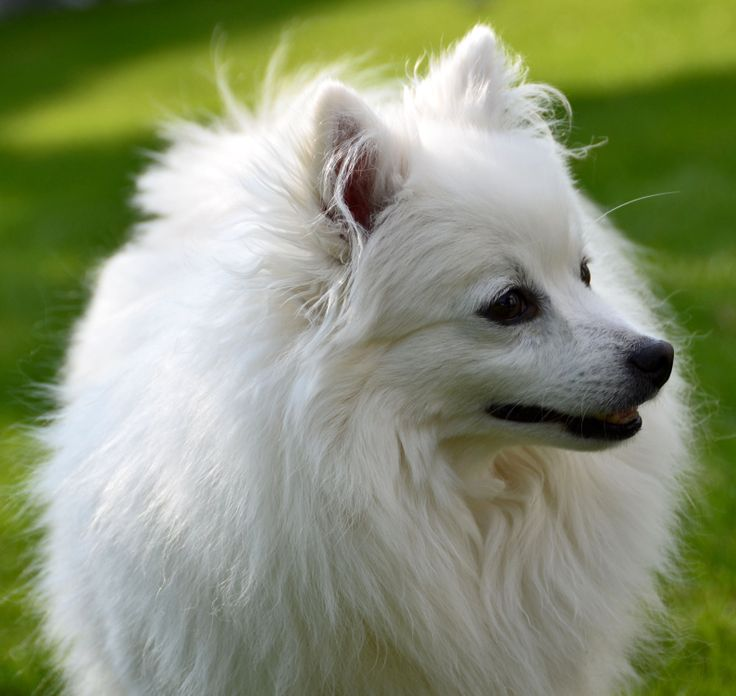 """Loved by #Italian royalty for centuries, the Volpino-Italiano (or """"Little Italian Fox"""") was originally kept as a guard dog. Its job was to alert the large #dogs to an intruder. However, due to their lovely temperament and intelligence they also became popular as #pets."""