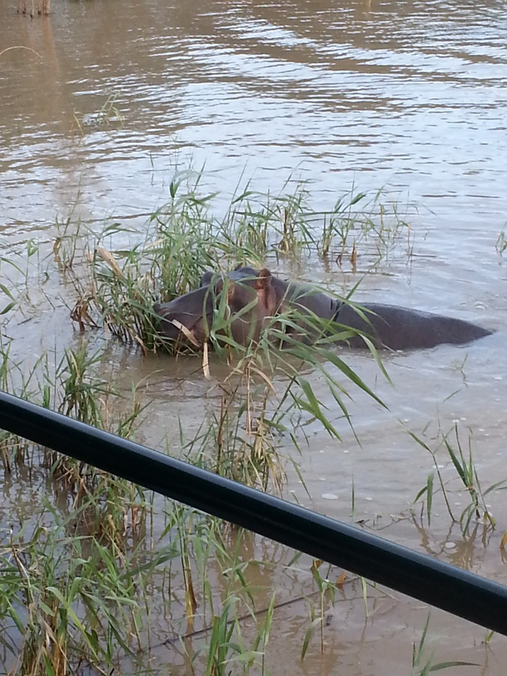 Nosy Hippo... Great photo opportunity