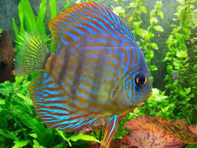 17 mejores ideas sobre peces de agua dulce en pinterest for Peces para acuario