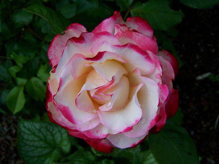 Ros kronblad
