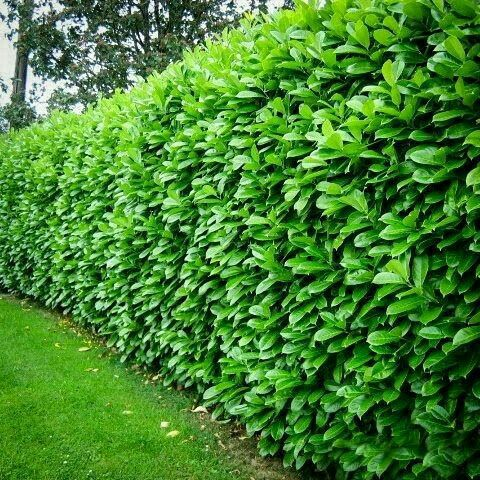Cherry Laurel 6'-8' Tall 4'-6' Wide Evergreen No Blooms Plant in Full Sun or Part Shade in Average soil Fast Growing www.greenprintLED.com #PrivacyLandscaping