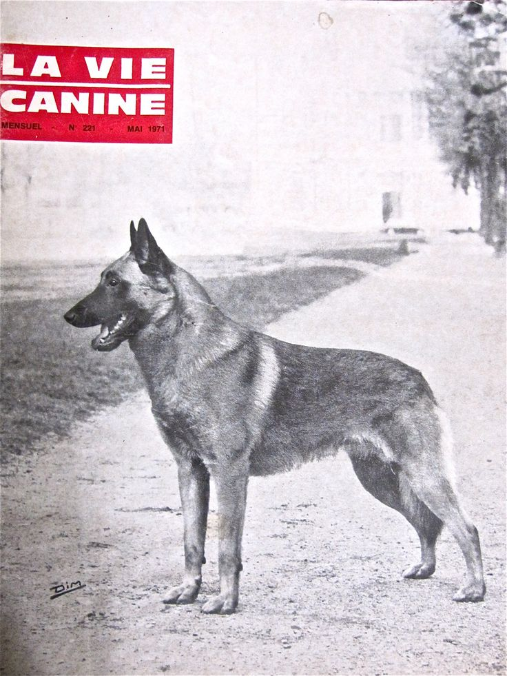 Note to the American Public: Belgian Malinois, Look Don't Touch