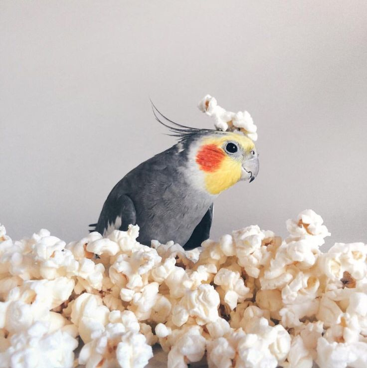 Cockatiel in popcorn ... If you want to feed your bird popcorn just make sure it's is unsweetened and salt free
