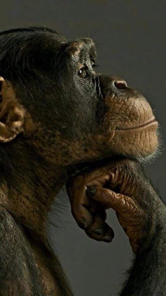 Chimp in pleasant reverie