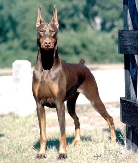 Doberman pinscher - can get a bad rep sometimes but are great dogs!
