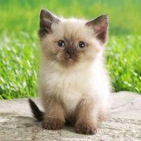 Lindo gatinho Siamês