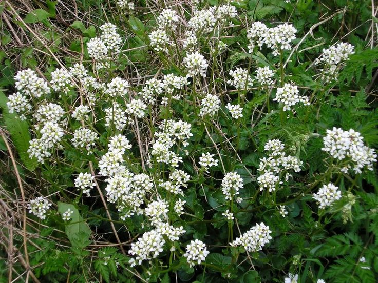 Scurvy Gr Cochlearia Used In The Confusing And Befuddlement Draught