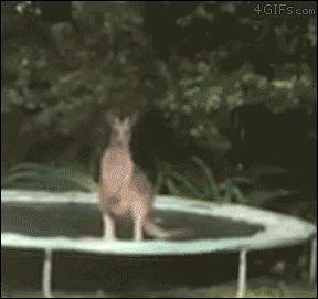 Kangourou VS trampoline!!! Qui va gagner???