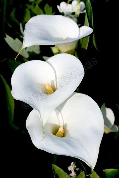 ✿ڿڰۣ(̆̃̃❤Aussiegirl #Garden #Splendor Arum Lilies