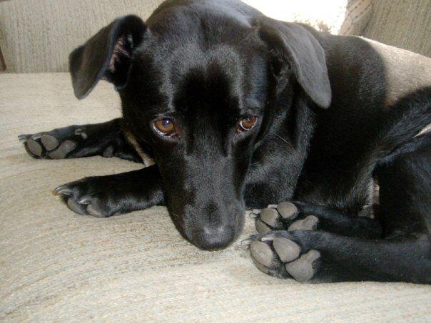 Corgador Puppies Dog