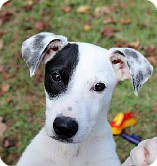 Yardley, PA - Border Collie/Dalmatian Mix. Meet Olivia T~B, a puppy for adoption. http://www.adoptapet.com/pet/11760063-yardley-pennsylvania-border-collie-mix