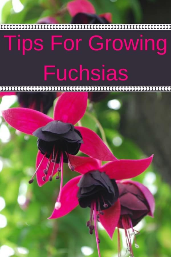 Tips For Growing Fuchsia Plants Fuchsia Plant Fuchsia Flowers Plants