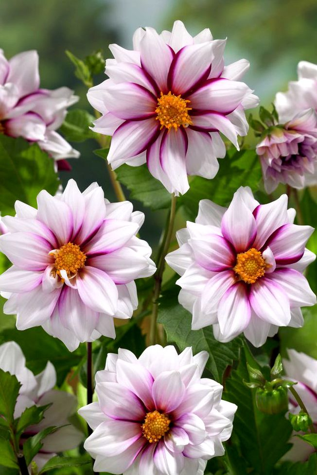 "~~Dahlia 'Edge of Joy' • striking camellia-like blooms in an elegant swirl of white and purple. The 3"" diameter flowers are produced in abundance • 99Roots.com~~"