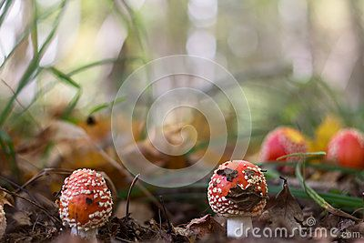 Amanita mushroom in the mixed forest
