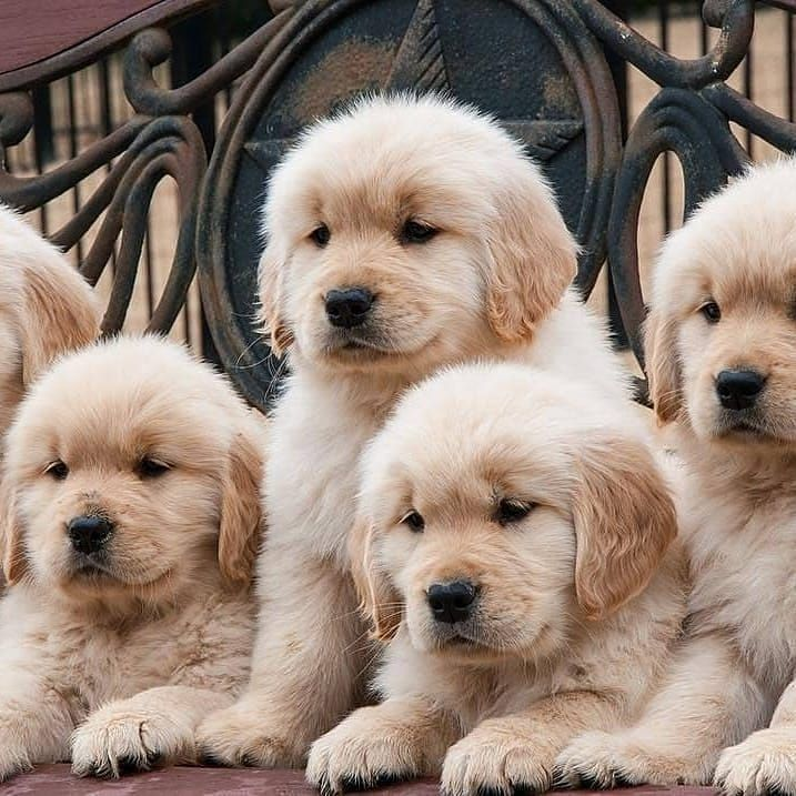 Pin By Shalonda On Cute Things That Remind Me Of Zero Puppy Litter Dog Lovers Puppies