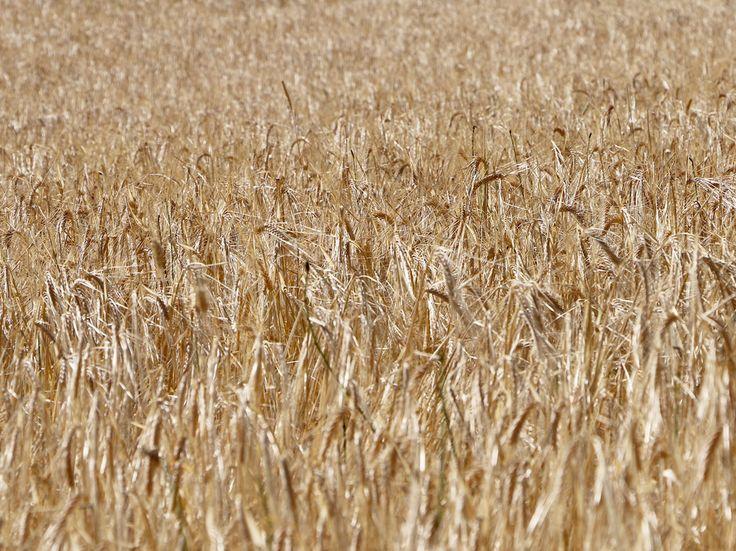 Champ de blés, une nature qualitative à respecter.