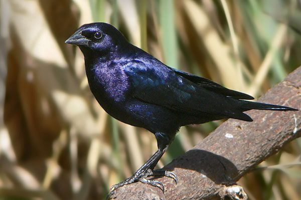 "Photos of Blackbirds / Shiny Cowbird ""Molothrus bonariensis"" Argentina"