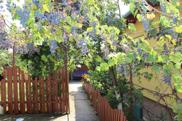 Grape vine, grandma's house, Jebel, Timiș, România