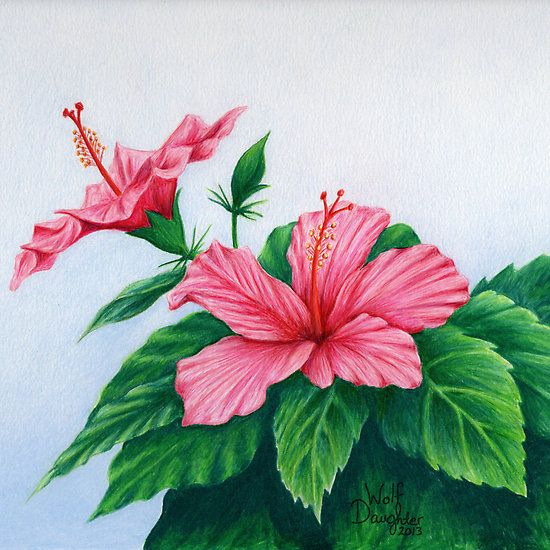 """Pink Hibiscus"" © Wolf Daughter  Part of the proceeds from sales will go to the Botanical Conservatory where this was drawn, in Thunder Bay, Ontario."
