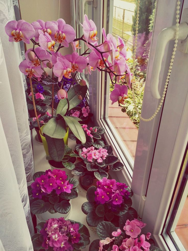 Windowsill full of African violets and orchid plants blooming with luxuriant pink flowers. Blossomy Saintpaulia ionantha and orchids in natural light.SSaintpaulia Ionantha Saintpaulia Flower Purple Orchid Pink Indoors  No People Day Windowsill Blooming Bloom Blossom Blossoms  Blossoming  Flowers Flowering Luxuriant Lush African Violet African Violets Violet Violets Millennial Pink