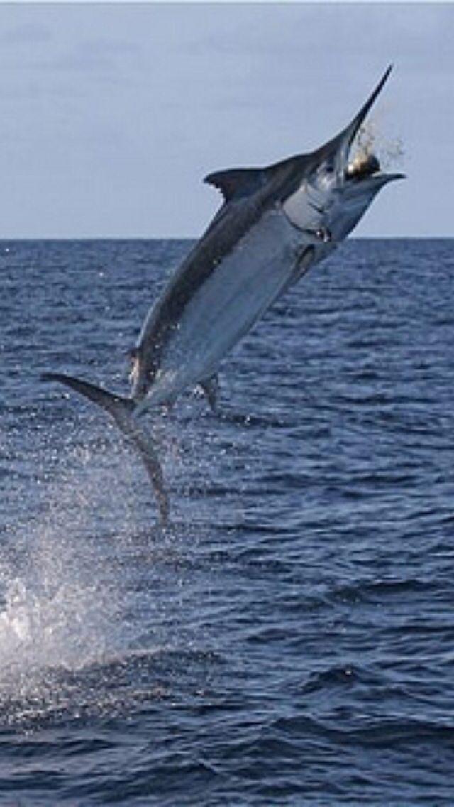 Black Marlin    I'm a #ladyangler, #BeSocial and follow me @southfloridah2o -  on http://twitter.com/southfloridah2o, Facebook, Pinterest and Google+