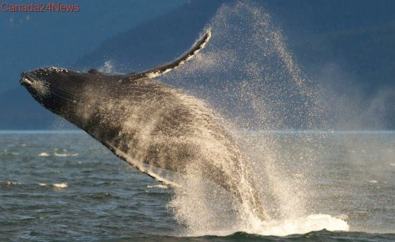 New protection for endangered West Coast whales cancelled by U.S.