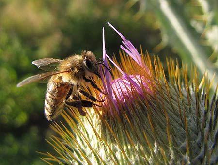 Biene auf Eselsdistel