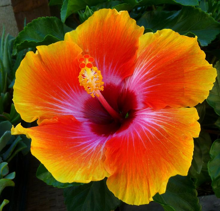 best garden hibiscus images on, Natural flower