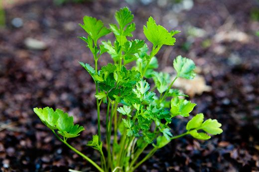 So why bother with parsley? It's a bitter herb that not only helps digestion, but makes almost any savory dish taste better.