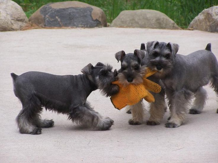 Puppies & Photo Gallery - Kirsch Miniature Schnauzers