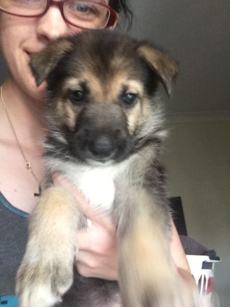 https://www.gumtree.com.au/s-ad/crestmead/dogs-puppies/female-german-shepherd-pup/1140340601
