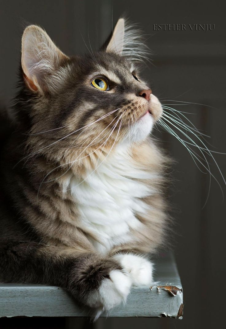 Maine Coon, Blue tabby blotched & White (a 09 22). Crazy Claws Dinah