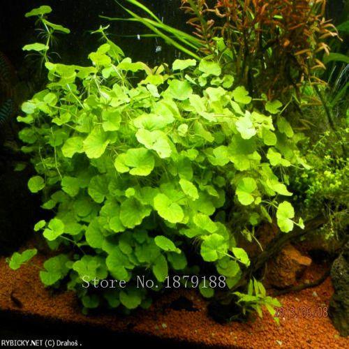 Aquarium decorations  Copper grass seeds  Aquarium Grass Seeds Water Grasses Aquatic Plant Fish Tank grass 100pcs    AA