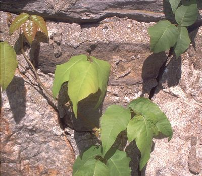 Pictures of Poison Ivy: Picture of Poison Ivy Leaf