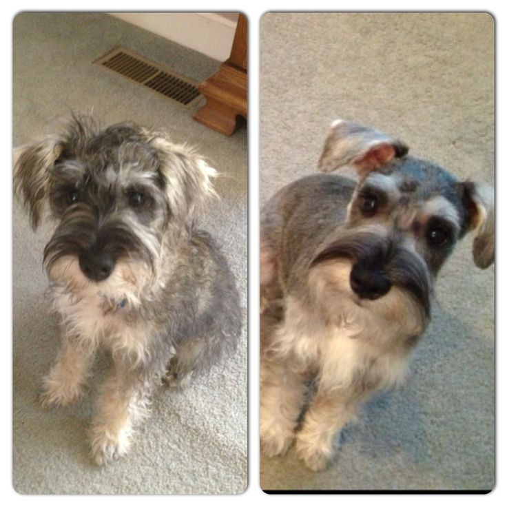 Before and after first schnauzer haircut! 4 months old